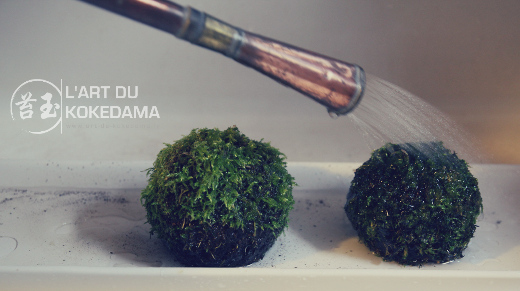 comment arroser un kokedama