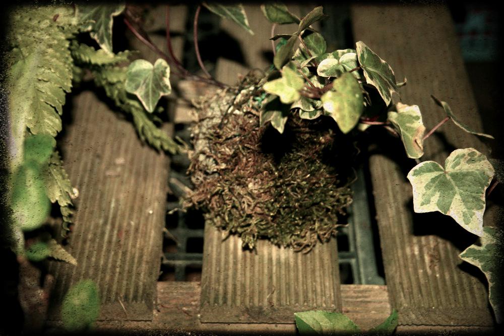 dégâts des oiseaux sur les kokedama