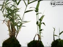kokedama bambou