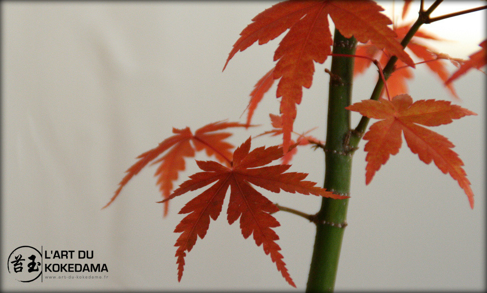 kokedama érable japonais, les feuilles sont d'un rouge flamboyant