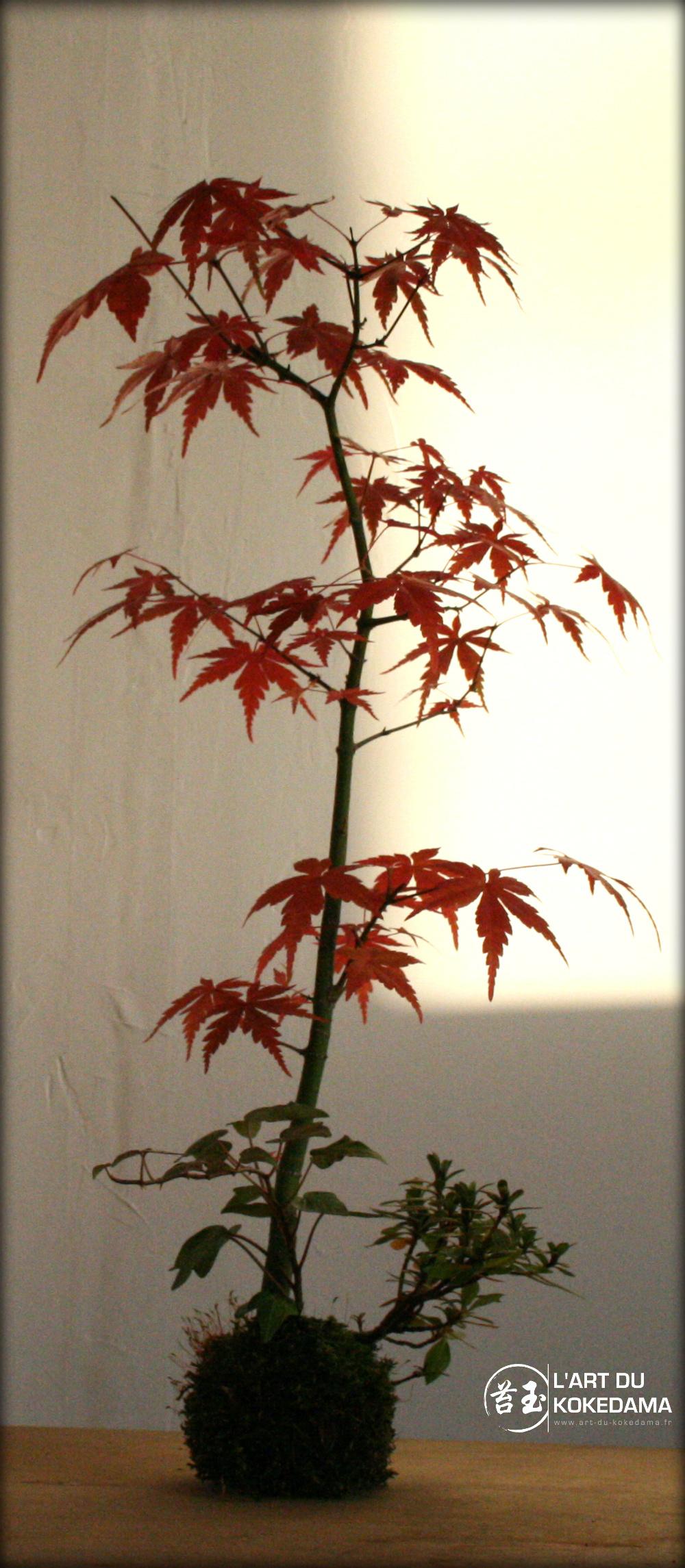 couleurs d 39 automne pour un kokedama d 39 rable palm. Black Bedroom Furniture Sets. Home Design Ideas