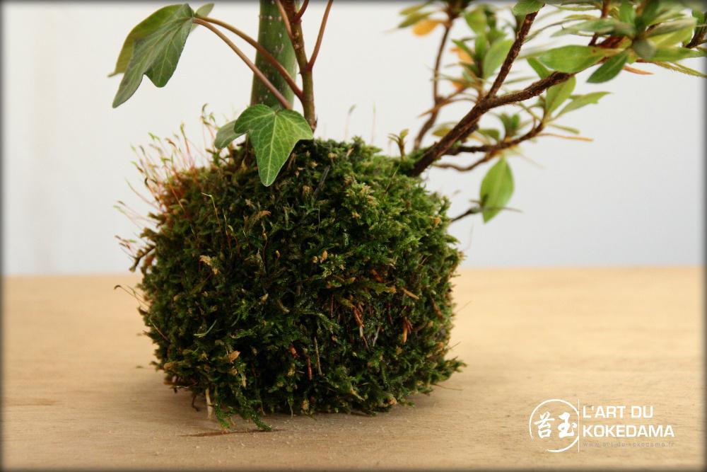 Détail de la boule de mousse sur ce kokedama d'érable japonais.