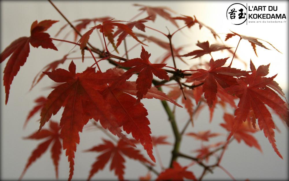 Gros plan sur le feuillage de l'érable en automne