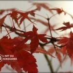 Couleurs d'automne pour un kokedama d'érable palmé