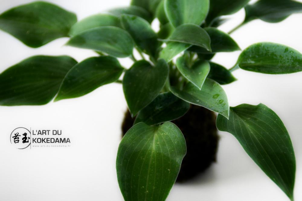 http://art-du-kokedama.fr/wp-content/uploads/2013/06/feuillage-de-hosta.jpg