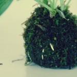 kokedama - racines qui sortent de la mousse