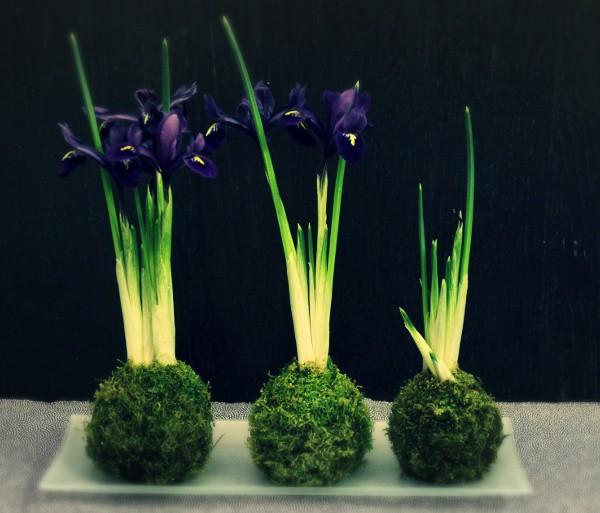 collection iris reticulata pixie