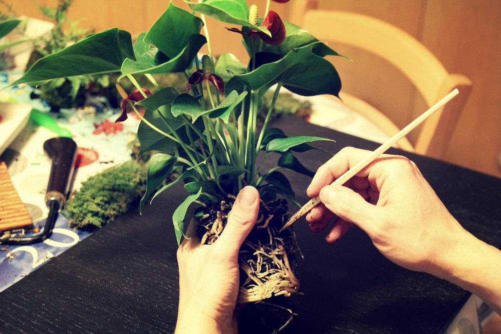technique kokedama - préparer les plantes
