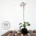 floraison kokedama de hosta